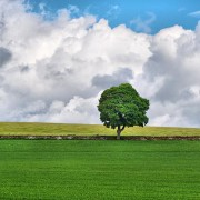 Green Tree in Field - Simple Nature Scene - Scotland